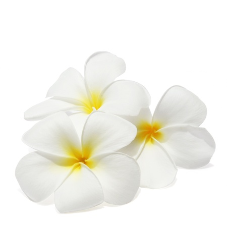 Tropical flowers frangipani  plumeria  isolated on white