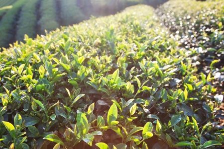 chinese herbs: Tea leaves in morning sunlight Stock Photo