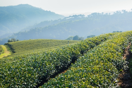 Tea plantation in morning sunlight, north Thailand  photo