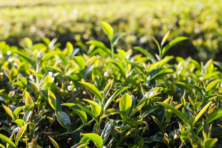 Tea leaves in morning sunlight photo