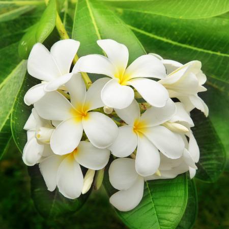 tree jasmine: Branch of tropical flowers frangipani (plumeria)  Stock Photo