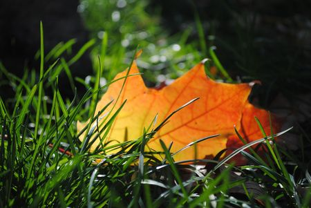 Autumn colored maple leaf shines in green grass Stock Photo
