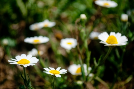 Photo of chamomillas on the meadow with effect of focused closer ones and fuzzy background photo
