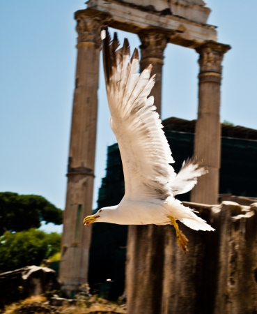 Photo of seagull flying between the Forum ruins. Stock Photo