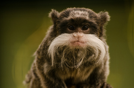 omnivore: Moustached tamatin looking at you Stock Photo