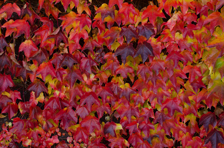 climbing plant: Climbing plant with  red leaves in autumn, background