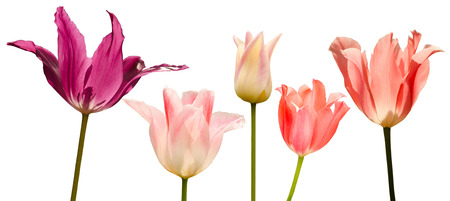 tulips isolated on white background: Collection of 5 tulips , isolated on the white background