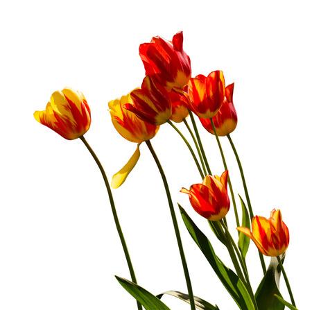 tulip: Czerwone, żółte i pomarańczowe tulipany Zdjęcie Seryjne