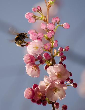 cerezos en flor: Abejorro en sakura florecimiento