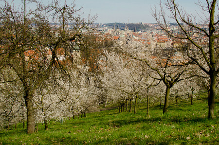 View on the spring Prague with the cherrytrees in blossom