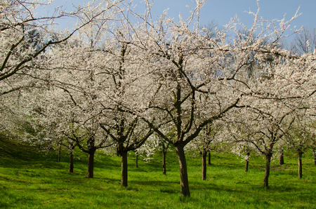 Cherrytrees in blossom in Prague Stock Photo