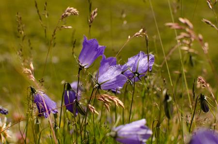 Beautiful campanules on Alpine meadows Stock Photo
