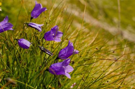 Beautiful violet campanules on Alpine meadows Stock Photo