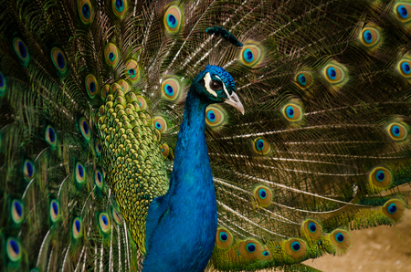 Splendid peacock with feathers out
