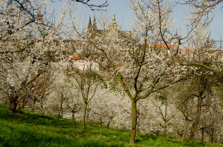View on the spring Prague Castle with the cherrytrees in blossom Stock Photo