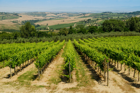 vinery: The vinery of Tuscany with hills as a background, Italy