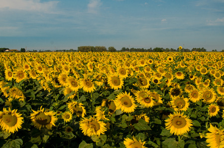 The field of sunflowers