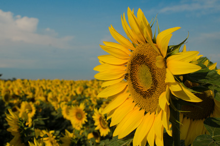 The sunflower with field as a background