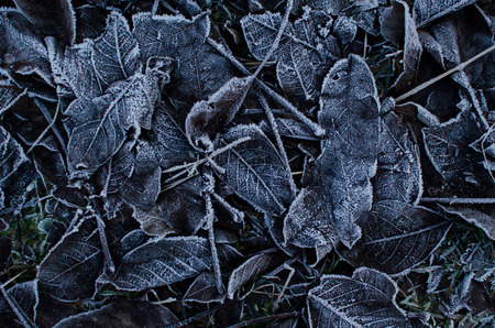frost winter: Background of winter leafs with frost