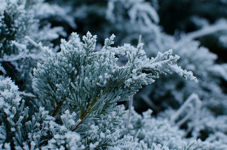 Branch of Junipers with frost