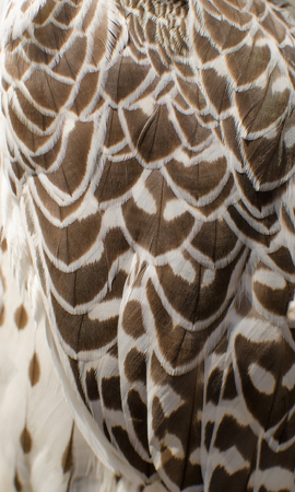 Texture of white with black  feathers of  barn owl Stock Photo