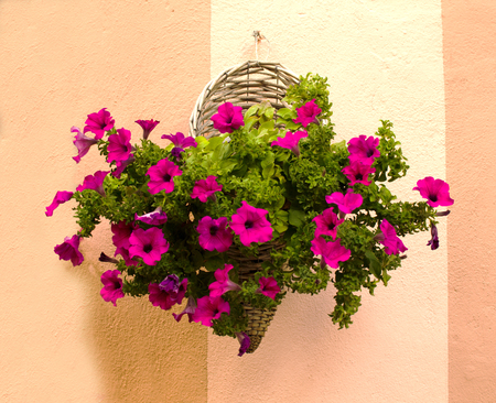 Flowers in the wicker hanging on the wall in Pienza. Italy