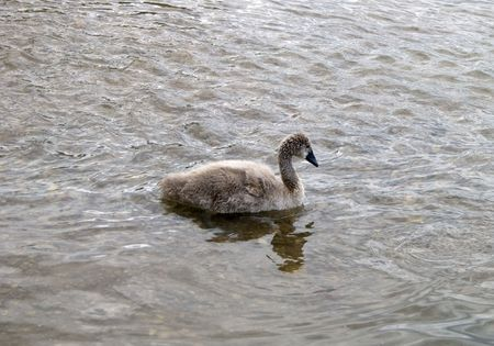 ugly duckling: The Ugly Duckling -  Beautiful swan in the future Stock Photo