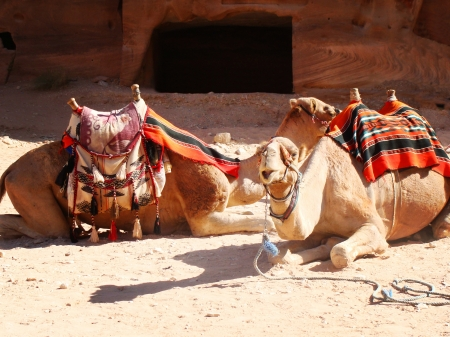 Two camel sitting on a desert of Petra photo