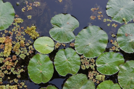 hydrophyte: Lotus leaf and water lettuce in transparent lake