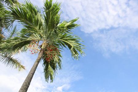 areca: Red areca nut palm on tree in blue sky