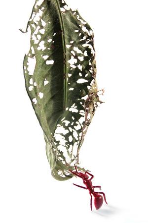 hormiga hoja: Fake hoja clamber hormiga sobre fondo blanco Foto de archivo