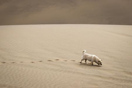 desert footprint: A dog walking on the desert Stock Photo