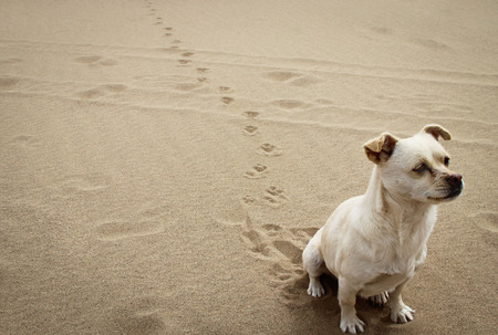 desert footprint: A dog sitting on the beach Stock Photo