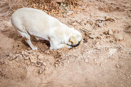 White dog digging his head in the sand