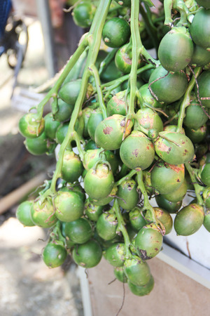 Raw betel nut palm bunch