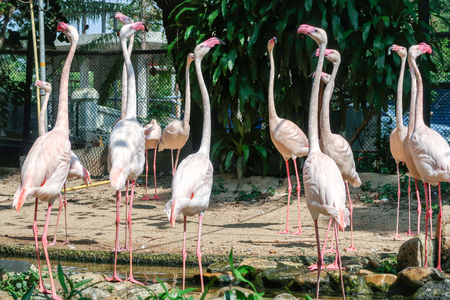 White flamingos group in the zoo