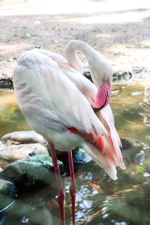 One white flamingo in the zoo
