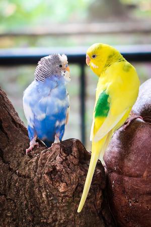 Two birds budgerigar parakeet Stock Photo
