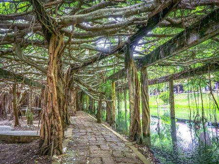 Sai Ngam Banyan tree in  Phimai district, Nakhon ratchasima province, Thailand