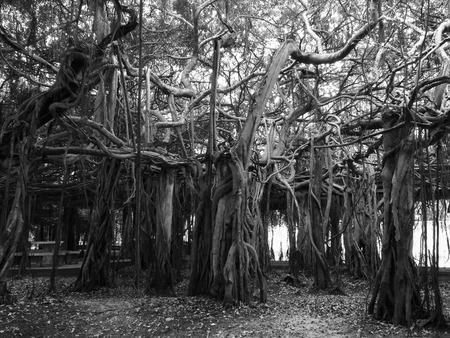 Sai Ngam Banyan tree in  Phimai district, Nakhon ratchasima province, Thailand in gray scale 版權商用圖片