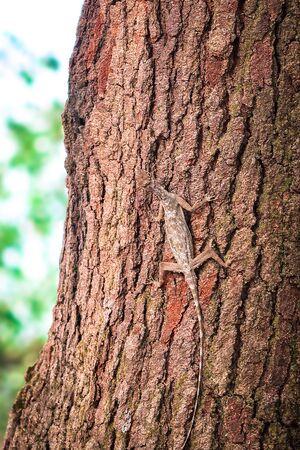 Draco Lizard crawled on the tree Stock Photo
