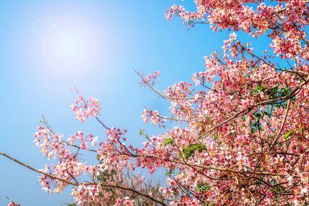 Cassia bakeriana rosa su cielo azzurro Archivio Fotografico