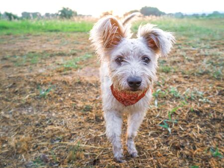 Dirty white dog, mixed blood westie terrier in the field Reklamní fotografie