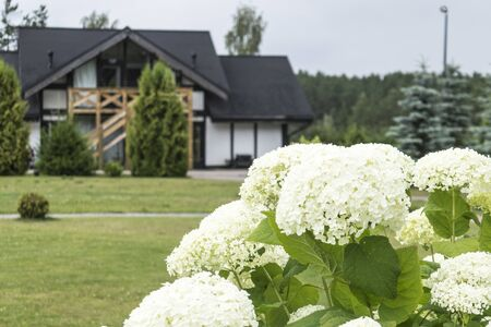 White beautiful hydrangea flowers in a scandinavian garden.