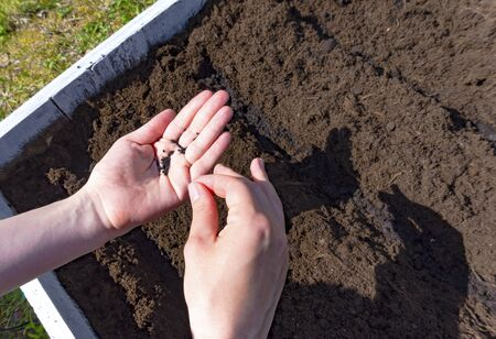 Close up of woman hands holding black seeds for planting