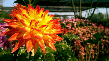 colorful: Yellow red flower