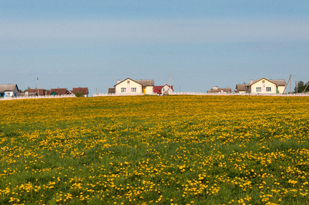 beautiful dandelion field on the background of houses Stock Photo