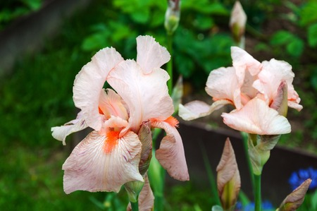 Beautiful pink iris