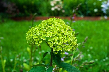 beautiful green hydrangea Stock Photo