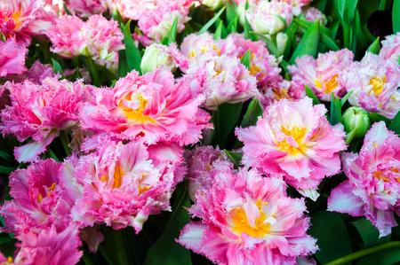 exposición: hermoso tulipanes rosa terry closeup Foto de archivo